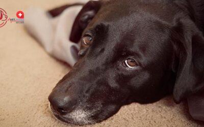 Bruceloza kod pasa: noćna mora odgajivača