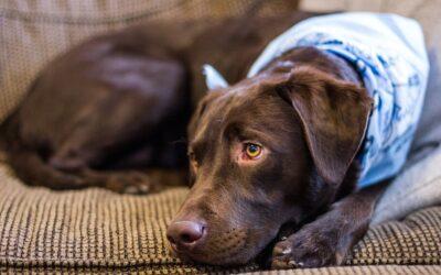 Canine herpesvirus – šta odgovorni vlasnici pasa i odgajivači treba da znaju o ovom opasnom virusu?