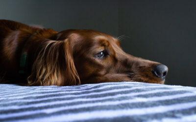 Kušingov sindrom kod pasa i kako ga otkriti – LDDT