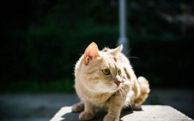 Najčešće zarazne bolesti mačaka: FeLV