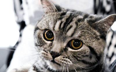 Najčešće zarazne bolesti mačaka: FIV