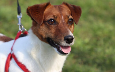 Štenećak, virus koji najčešće pogađa mlade pse