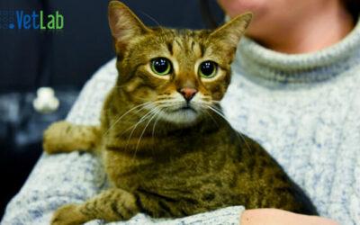 Sve što treba da znate o mačjim bolestima: Felini Infektivni Peritonitis (FIP)