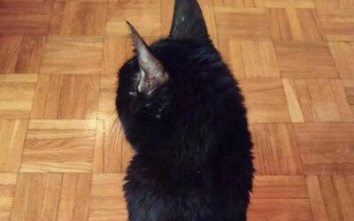 Dermatofiti, dermatofitoza kod pasa i mačaka